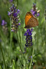 Small Butterfly on Lavender