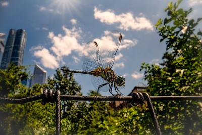 New York City Dragonfly