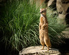 A Yellow Mongoose