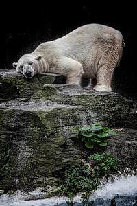 The Contented Polar Bear