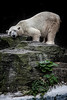 The Contented Polar Bear
