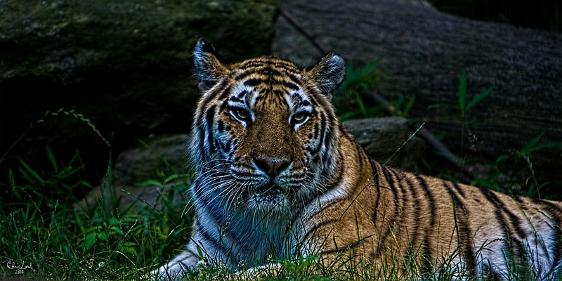 A Tiger Portrait