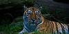 A Tiger Portrait