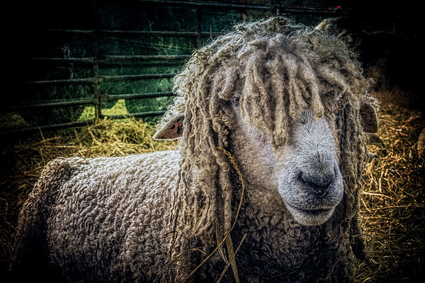 Meg The Hippy Sheep