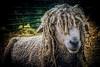 Meg The Hippy Sheep