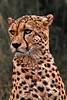 The Pensive Cheetah