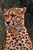 The Pensive Cheetah