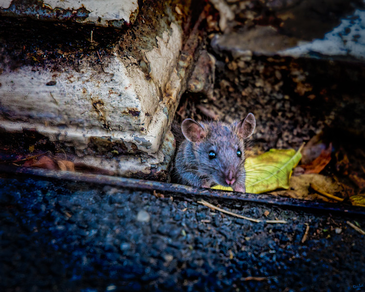 Young Ratty Steps Out