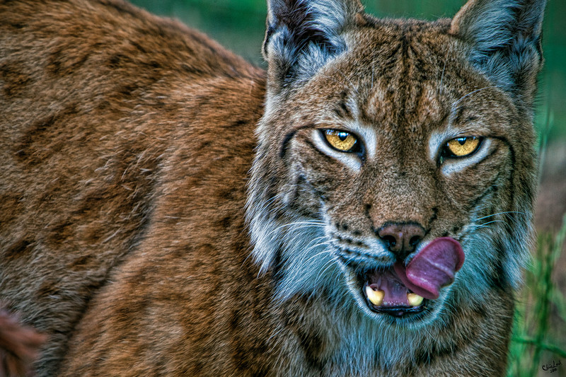 Lynx Licks Lips