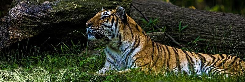 Tigger the Tiger Smells Something Tasty