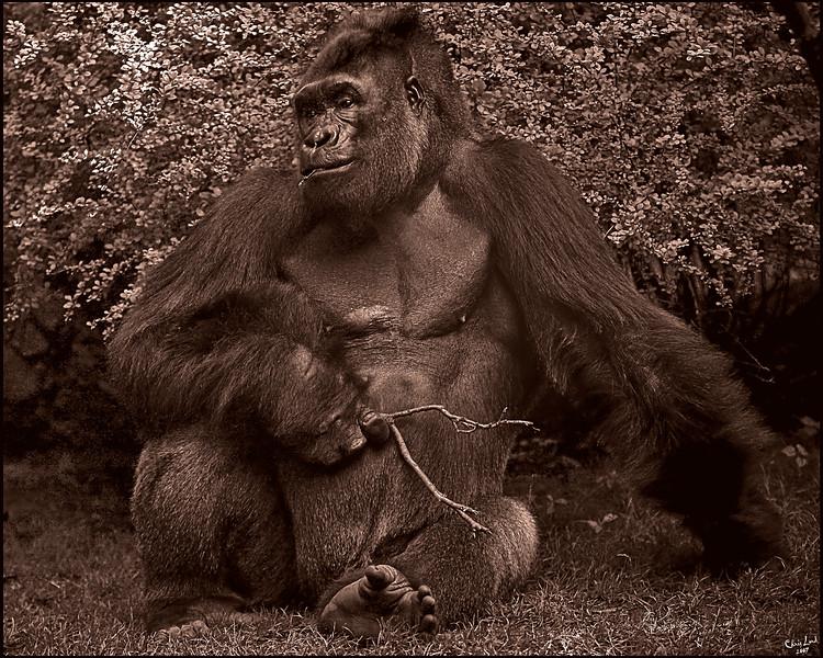 The Pensive Gorilla