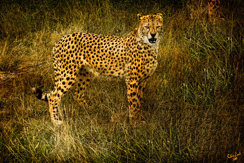Cheetah, Caught in the Light