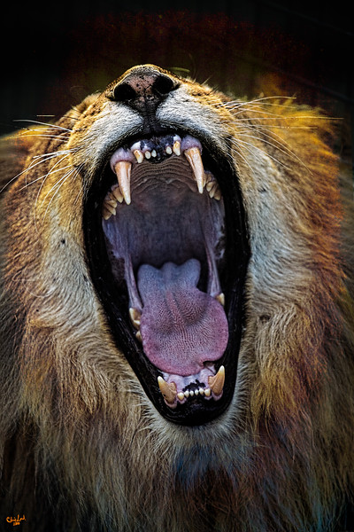 The Royal Yawn