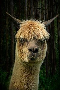 Loopy Lama