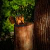 Balboa Park Squirrel