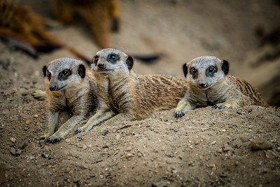 A Meercat Trio