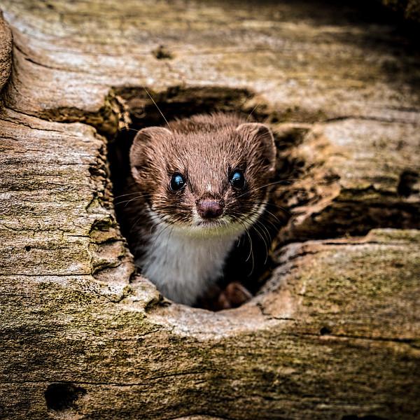 Polecat Peek-a-Boo