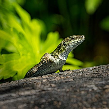 Lizard Waving