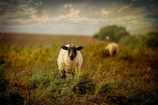 Sally The Sheep Says Hello