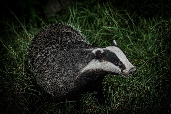 Roger The Badger