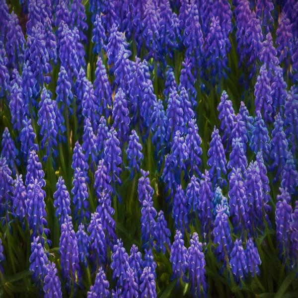 Massed Blue Spring Flowers