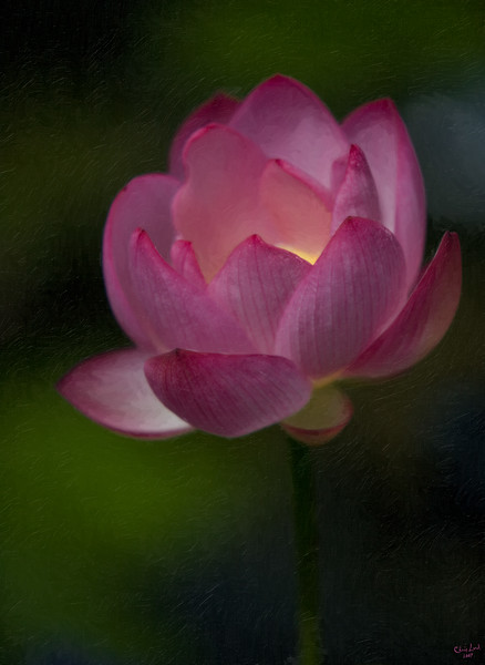 A Pink Lotus, The Sacred Flower