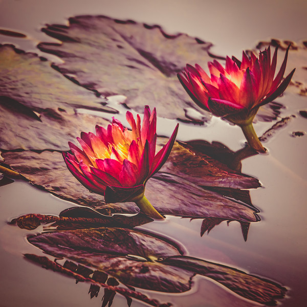 Waterlily Twins