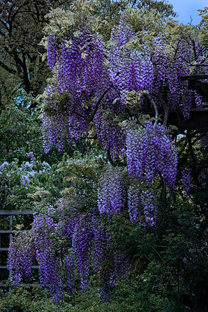 Even More Wisteria