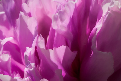 Pink Peony Abstract