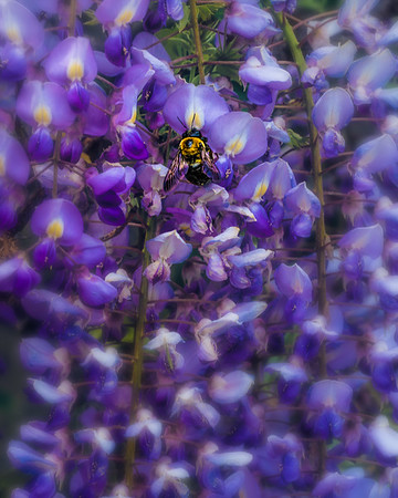 Wisteria Close Up With Bee