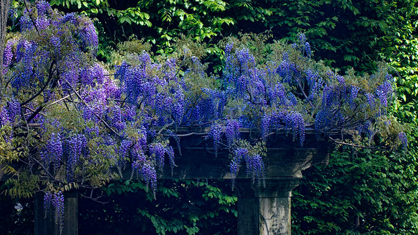 A Wisteria Roof