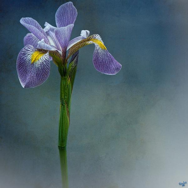 Harlem Meer Iris