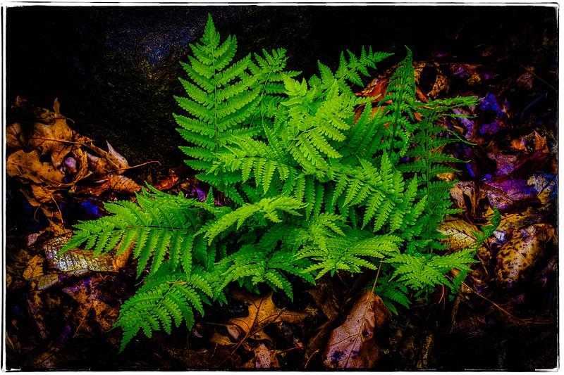 Spring Forest Ferns