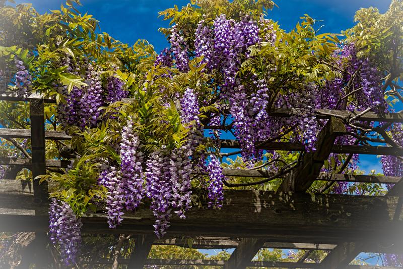 Springtime In Wisteria Land