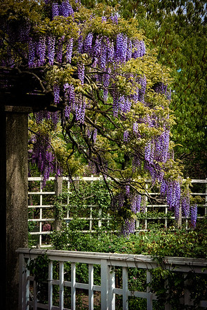 Flowering WIsteria