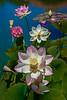 Lotus Pool Digital Painting