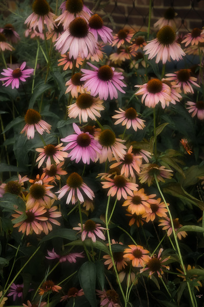 Coneflowers on the Highline