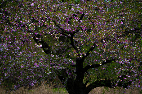 Cherry Blossom Madness