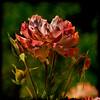 Buds 'n' Roses