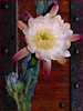 Western Cactus Flower