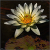 Waterlily #6