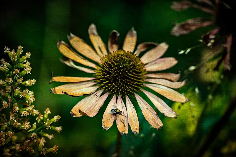 Golden Fly On A Cornflower