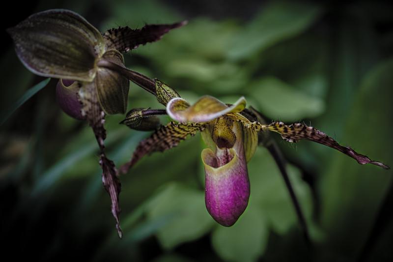 Orchid Dancers