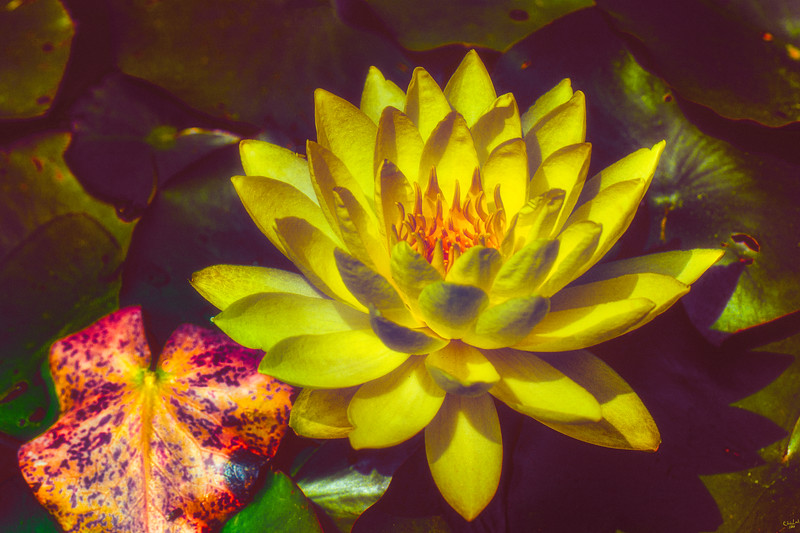 Waterlily Fantasy