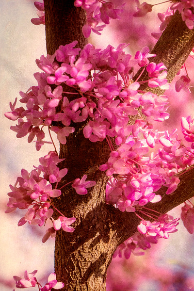 Spring Blossoms In Pink