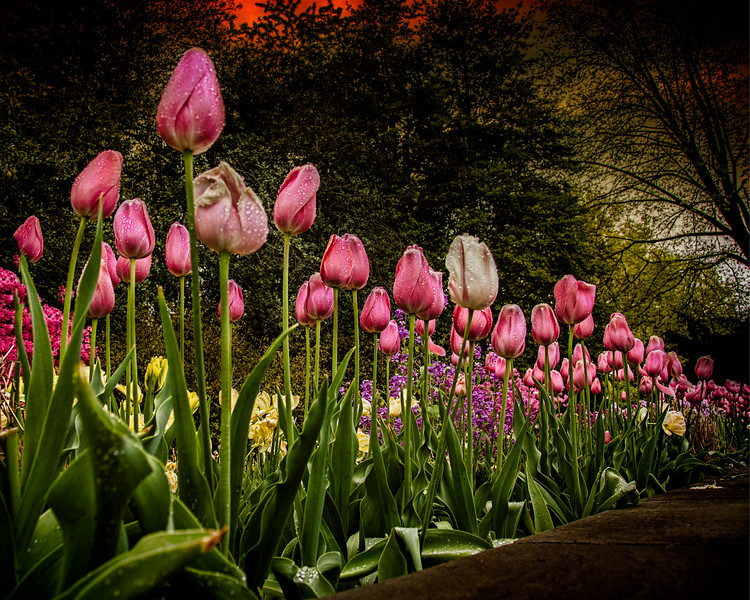 Rows Of Tulips In The Rain