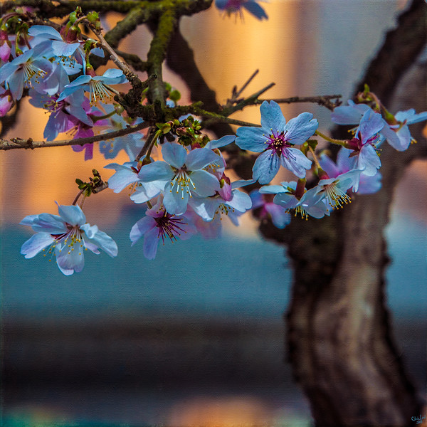 Bonsai Cherry Blossom