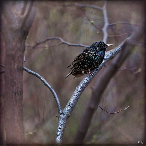 A Starling In Tree with Fog