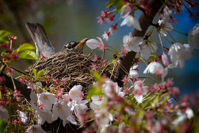 Robin In The Nest