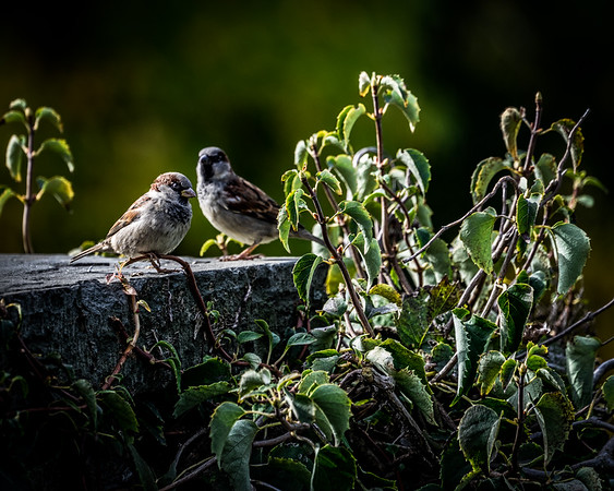 Sparrows Caught In The Light